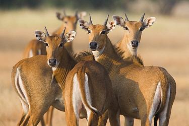 Nilgai (Boselaphus tragocamelus) group of females during the dry season, India  -  Theo Allofs