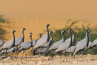 Demoiselle Crane (Anthropoides virgo) flock wintering in India  -  Theo Allofs