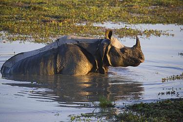 Indian Rhinoceros (Rhinoceros unicornis) in water whole, Kaziranga National Park, India  -  Theo Allofs