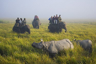 Indian Rhinoceros (Rhinoceros unicornis) and tourists on elephants watching mother with calf in tall elephant grass, Kaziranga National Park, India  -  Theo Allofs