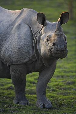 Indian Rhinoceros (Rhinoceros unicornis) female, Kaziranga National Park, India  -  Theo Allofs