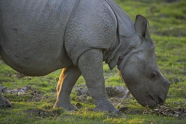 Indian Rhinoceros (Rhinoceros unicornis) calf grazing on short grass, Kaziranga National Park, India  -  Theo Allofs