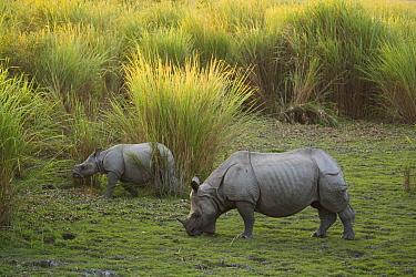 Indian Rhinoceros (Rhinoceros unicornis) mother and calf grazing on short grass, Kaziranga National Park, India  -  Theo Allofs