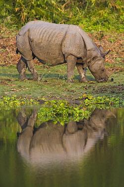 Indian Rhinoceros (Rhinoceros unicornis) grazing on short grass on river bank, Kaziranga National Park, India  -  Theo Allofs