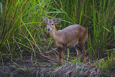 Hog Deer (Axis porcinus) near elephant grass, India  -  Theo Allofs