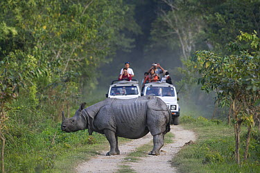 Indian Rhinoceros (Rhinoceros unicornis) standing on road with tourists in game drive vehicles, Kaziranga National Park, India  -  Theo Allofs