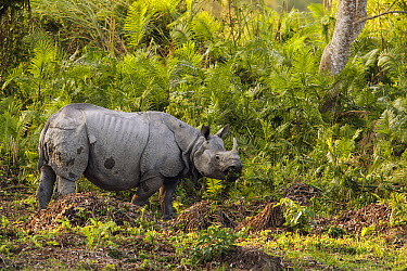 Indian Rhinoceros (Rhinoceros unicornis), Kaziranga National Park, India  -  Theo Allofs