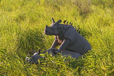 Indian Rhinoceros (Rhinoceros unicornis) pair mating in elephant grass, Kaziranga National Park, India  -  Theo Allofs