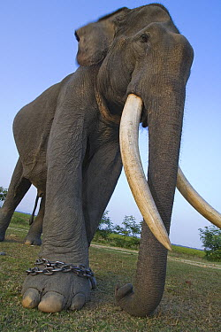 Asian Elephant (Elephas maximus) worker on chain, this animal is used for carrying tourists and patrolling wildlife in Kaziranga National Park, India  -  Theo Allofs