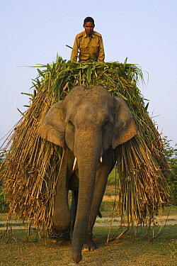 Asian Elephant (Elephas maximus) worker transporting grass, India  -  Theo Allofs