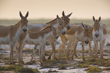 Indian Wild Ass (Equus hemionus khur) herd in clay pan during the dry season, Indian Wild Ass Sanctuary, Little Rann of Kutch, India  -  Theo Allofs
