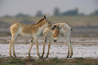 Indian Wild Ass (Equus hemionus khur) foals playing during the dry season, Indian Wild Ass Sanctuary, Little Rann of Kutch, India  -  Theo Allofs