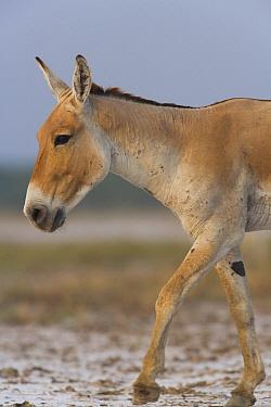 Indian Wild Ass (Equus hemionus khur) walking in a clay pan during the dry season, Indian Wild Ass Sanctuary, Little Rann of Kutch, India  -  Theo Allofs