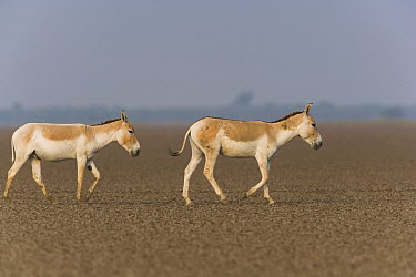 Indian Wild Ass (Equus hemionus khur) pair crossing vast dry clay pan during dry season, Indian Wild Ass Sanctuary, Little Rann of Kutch, India  -  Theo Allofs