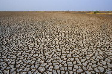 Indian Wild Ass (Equus hemionus khur) habitat, a vast dry clay pan with drought patterns, Indian Wild Ass Sanctuary, Little Rann of Kutch, India  -  Theo Allofs