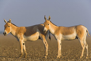 Indian Wild Ass (Equus hemionus khur) pair in dry clay pan, Indian Wild Ass Sanctuary, Little Rann of Kutch, India  -  Theo Allofs