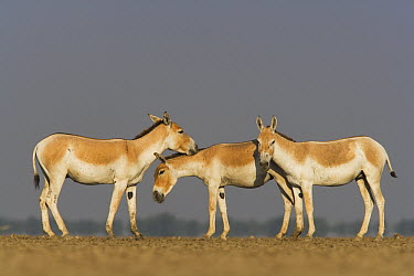 Indian Wild Ass (Equus hemionus khur) trio in dry clay pan, Indian Wild Ass Sanctuary, Little Rann of Kutch, India  -  Theo Allofs