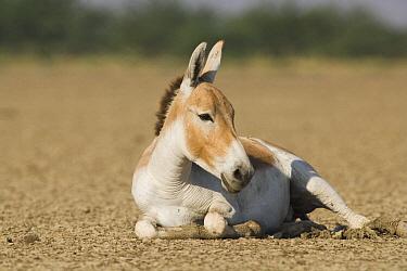 Indian Wild Ass (Equus hemionus khur) resting in dry clay pan, Indian Wild Ass Sanctuary, Little Rann of Kutch, India  -  Theo Allofs