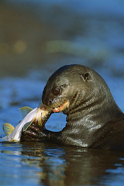 Giant River Otter (Pteronura brasiliensis) feeding on fish, Pantanal, Brazil  -  Theo Allofs
