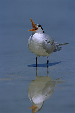 Royal Tern (Thalasseus maximus) calling, Fort Myers Beach, Florida  -  Theo Allofs