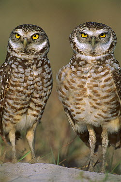 Burrowing Owl (Athene cunicularia) pair on sand mound near burrow entrance, Florida  -  Theo Allofs