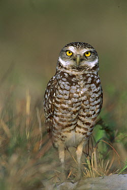 Burrowing Owl (Athene cunicularia) on sand mound near burrow entrance, Florida  -  Theo Allofs