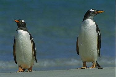 Gentoo Penguin (Pygoscelis papua) pair on beach, Falkland Islands  -  Theo Allofs