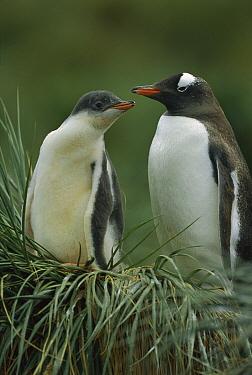 Gentoo Penguin (Pygoscelis papua) mother and chick, South Georgia Island  -  Theo Allofs
