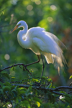 Great Egret (Casmerodius albus) in breeding plumage, Corkscrew Swamp, Florida  -  Theo Allofs