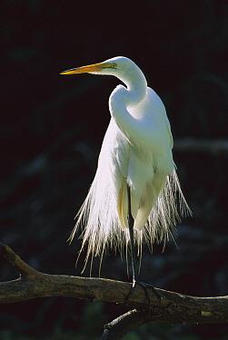 Great Egret (Casmerodius albus) in breeding plumage, Corkscrew Swamp, Florida  -  Theo Allofs