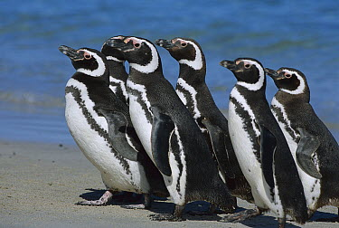 Magellanic Penguin (Spheniscus magellanicus) group walking on beach, Falkland Islands  -  Theo Allofs
