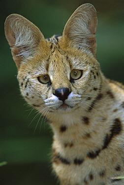 Serval (Leptailurus serval) portrait, native to Africa  -  Theo Allofs