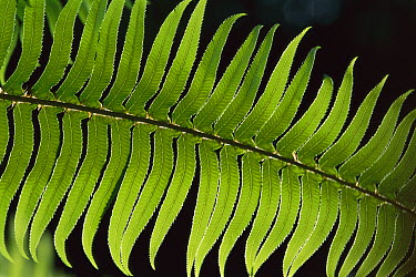 Sword Fern (Polystichum munitum) frond, Redwood National Park, California  -  Theo Allofs