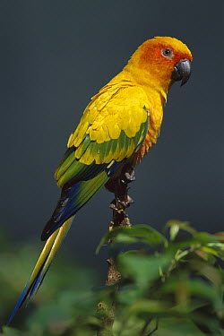 Sun Parakeet (Aratinga solstitialis), native to South America  -  Theo Allofs