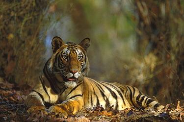 Bengal Tiger (Panthera tigris tigris) 20 month old male cub resting, Bandhavgarh National Park, India  -  Theo Allofs