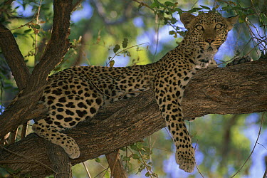 Leopard (Panthera pardus) resting in tree, Moremi Game Reserve, Botswana  -  Theo Allofs