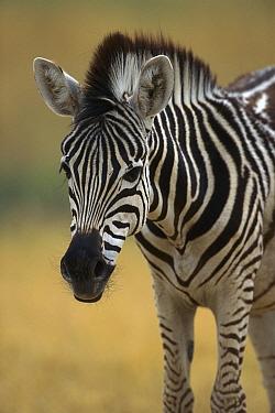 Burchell's Zebra (Equus burchellii) portrait, Moremi Game Reserve, Botswana  -  Theo Allofs