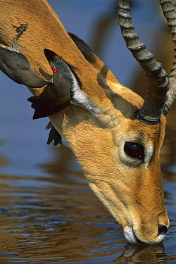 Impala (Aepyceros melampus) male drinking while two Red-billed Oxpeckers (Buphagus erythrorhynchus) forage for parasites on its ear, Chobe National Park, Botswana  -  Theo Allofs