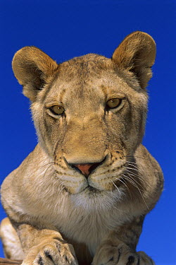 African Lion (Panthera leo) female portrait in rehabilitation center, Namibia  -  Theo Allofs