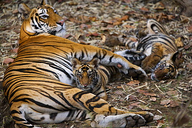 Bengal Tiger (Panthera tigris tigris) female with her two four to five month old cubs, Bandhavgarh National Park, India  -  Theo Allofs