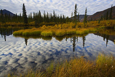 Reflection of clouds in small lake along boreal forest, Ogilvie Mountains, Yukon, Canada  -  Theo Allofs