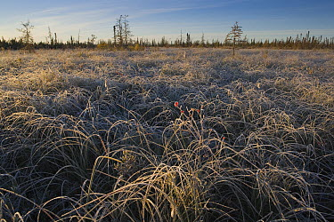Grass covered with hoar frost, Yukon, Canada  -  Theo Allofs