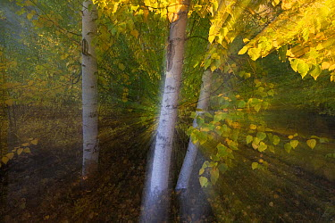 Quaking Aspen (Populus tremuloides) trees in autumn, Canada  -  Theo Allofs