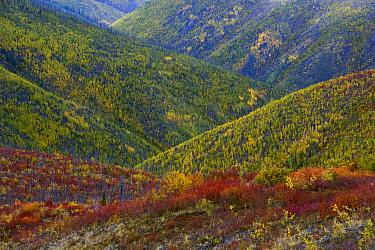 Autumn colors on hills along the Top of the World Highway between Dawson City, Yukon, and Tok, Alaska  -  Theo Allofs