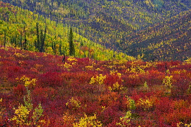 Autumn colors on hills along the Top of the World Highway between Dawson City in the Yukon Territory, Canada and Tok, Alaska  -  Theo Allofs