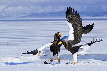 Steller's Sea Eagle (Haliaeetus pelagicus) competing for food, Kamchatka, Russia  -  Sergey Gorshkov