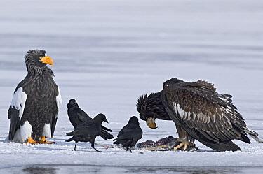 Steller's Sea Eagle (Haliaeetus pelagicus) feeding, with another eagle and ravens waiting for left overs, Kamchatka, Russia  -  Sergey Gorshkov