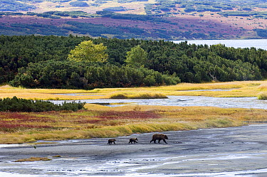 Brown Bear (Ursus arctos) mother with two cubs, Kamchatka, Russia  -  Sergey Gorshkov
