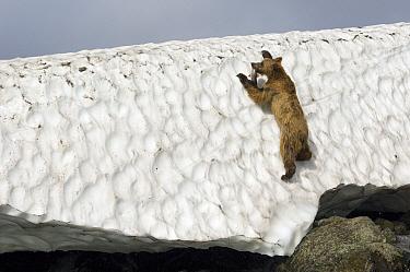 Brown Bear (Ursus arctos) climbinb up snow bank next to river with caught salmon, Kamchatka, Russia  -  Sergey Gorshkov