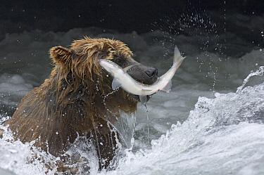Brown Bear (Ursus arctos) catching salmon in mid air, Kamchatka, Russia  -  Sergey Gorshkov